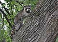 Raccoon (37283492890).jpg