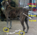 Ramanathapuram mandai dog identity with strong femur,pelvis and paws.png