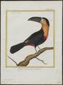 Ramphastos ariel - 1700-1880 - Print - Iconographia Zoologica - Special Collections University of Amsterdam - UBA01 IZ19300267.tif