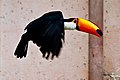 Ramphastos toco -Montecasino Bird Gardens, Montecasino, Fourways, Johannesburg, South Africa -flying-8a (1).jpg