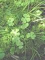 Ranunculus lapponicus 4-eheep (5097965178).jpg