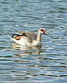 Rare Egyptian Goose at Decoy Country Park - geograph.org.uk - 720109.jpg