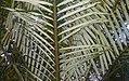 Ravenea albicans.jpg