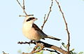 Red-backed shrike, Lanius collurio at at Pilanesberg National Park, Northwest Province, South Africa - male (16835488629).jpg
