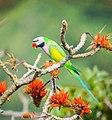 Red-breasted parakeet.jpg
