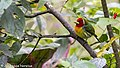 Red-headed Barbet, male, Mirador Chinchona, Costa Rica, January 2018 (39596373585).jpg
