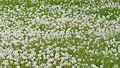 Red-seeded Dandelion (Taraxacum erythrospermum) - Guelph, Ontario.jpg