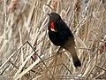 Red-winged Blackbird - Flickr - treegrow (18).jpg