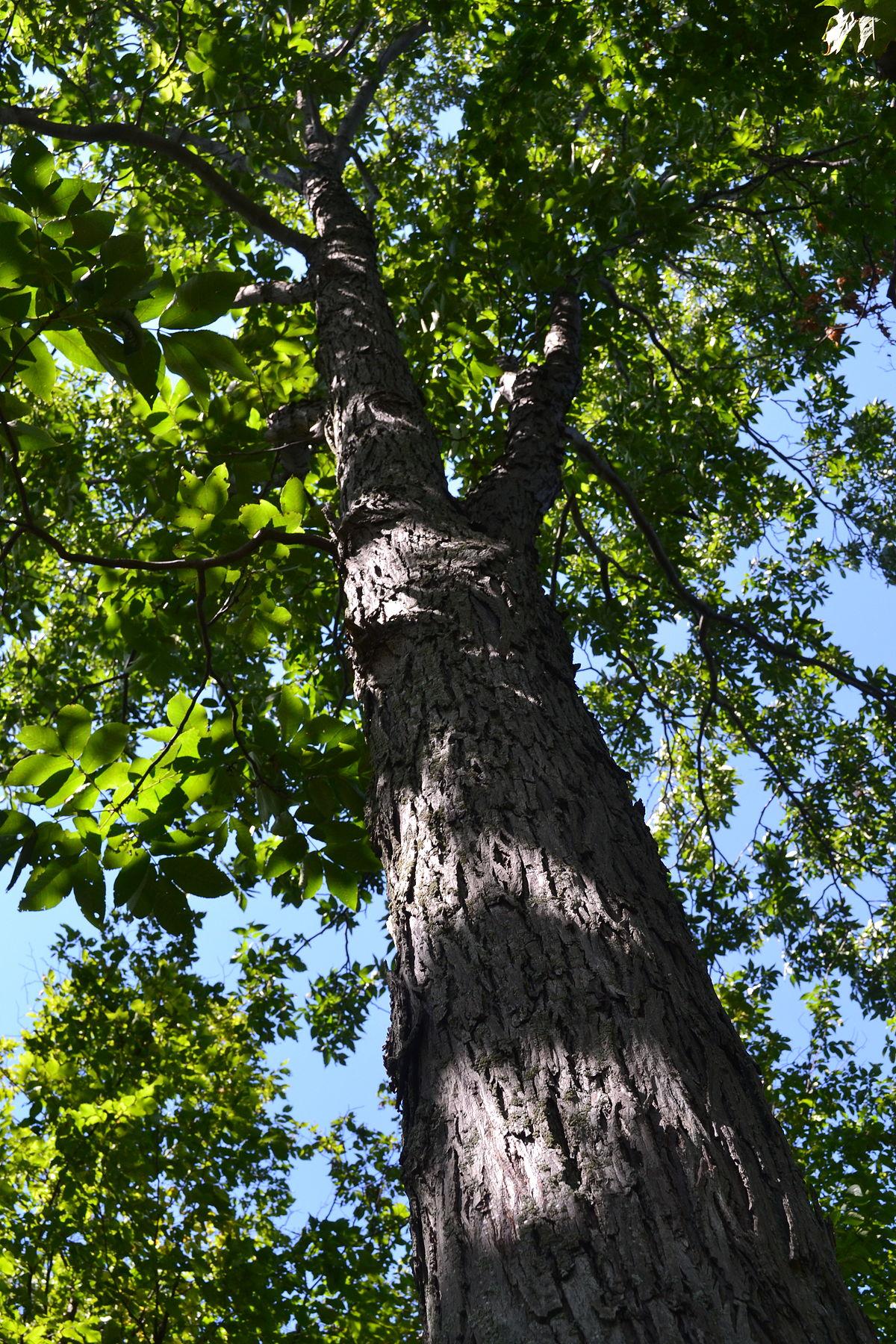 Trees Of Santa Cruz County Melaleuca Quinquenervia: Carya Ovalis