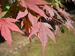 Red Maple Leaves in Yahiko.JPG