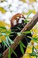 Red Panda (37661567005).jpg