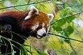 Red Panda (37661699235).jpg