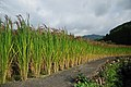 Red Rice Paddy field in Japan 005.jpg