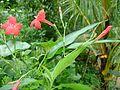 Red flowers in kerala.jpg