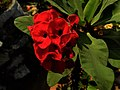 Red garden flower 1.jpg