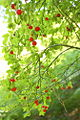 Red huckleberries (5970453984).jpg