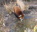 Red panda drinking water.jpg