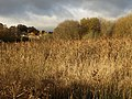 Reed beds by the Templer Way - geograph.org.uk - 1052597.jpg