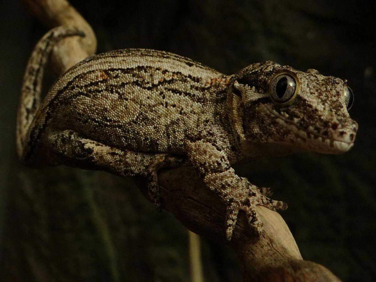 Ушастый новокаледонский геккон