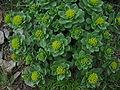 Rhodiola rosea 01.jpg