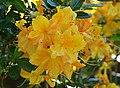 Rhododendron 'Klondyke' Flower.JPG