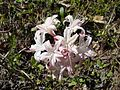 Rhododendron atlanticum from Florence County, SC.jpg