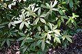 Rhododendron davidsonianum - VanDusen Botanical Garden - Vancouver, BC - DSC07326.jpg