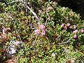 Rhododendron hirsutum DSCF4241.JPG