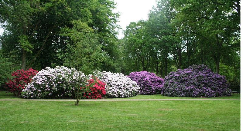 massifs de rhododendrons