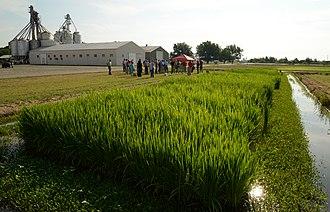 Arkansas Delta - Rice field near Stuttgart