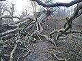 Riis Skov (væltet træ).JPG