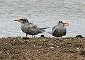 River Tern (Sterna aurantia)- Immature W IMG 0107.jpg