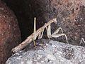 Rivetina balcanica (Mantis sp.), Skala Kalloni, Lesbos, Greece.jpg