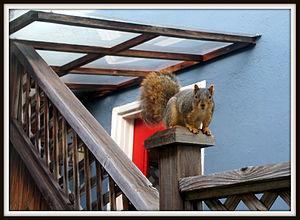 Fox squirrel - Wikipedia