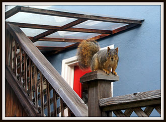 Fox squirrel - Fox squirrel pausing from building its nest in an attic in Berkeley, California.