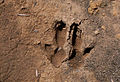 Rock wallaby footprints.jpg