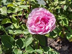 Rosa 'Beverly' (d.j.b).jpg