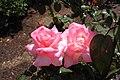 Rosa 'Pink Promise' 2010-04-27.JPG