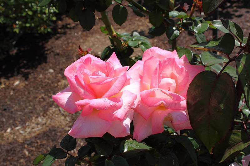 File:Rosa 'Pink Promise' 2010-04-27.JPG