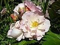 Rosa Penelope1a.UME.JPG
