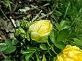 Rosa Persian Yellow 2019-06-03 4454.jpg