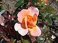 Rosa Rosemary Harkness 2018-07-16 6802.jpg