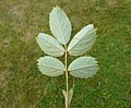 Rosa glauca leaf (10).jpg