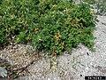 Rosa rugosa fruit (49).jpg