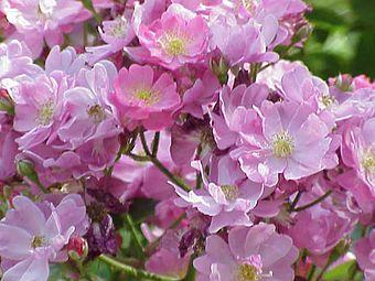 Rosa sp.304.jpg