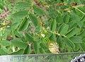 Rosa spinosissima inflorescence (90).jpg