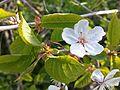 Rosales - Prunus domestica flower 1.jpg