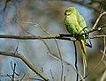 Rose-ringed Parakeet, (Psittacula krameri), Parc de Woluwé, Brussels.jpg