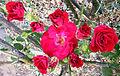 Rose Cluster 1.jpg