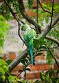 Rose Ringed Parakeet IMG 0351.jpg